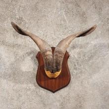 Catalina Goat Horn Plaque #10971 - The Taxidermy Store