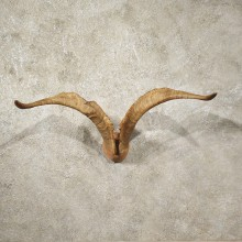 Catalina Goat Horn Plaque #10977 - The Taxidermy Store