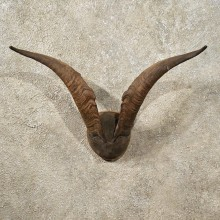 Catalina Goat Horn Plaque #10978 - The Taxidermy Store