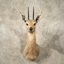 #10997 African Vaal Rhebok Shoulder Taxidermy Head Mount For Sale