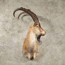 Bezoar Ibex Shoulder Mount #11014 - The Taxidermy Store