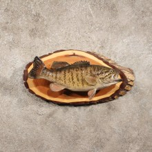 Smallmouth Bass Taxidermy Fish Mount For Sale