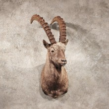 Alpine Ibex Taxidermy Shoulder Mount For Sale