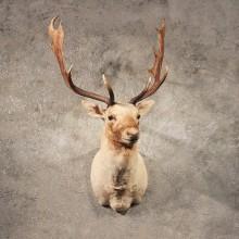 White Fallow Deer Shoulder Mount For Sale