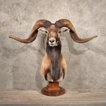 Black & Tan Corsican Ram