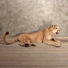Laying Mountain Lion w/ Mahogany Base