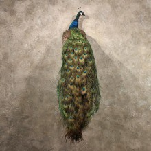 Green Indian Peacock Mount For Sale