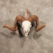 Corsican Ram Horn Plaque
