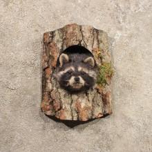 Single Raccoon Head in Log