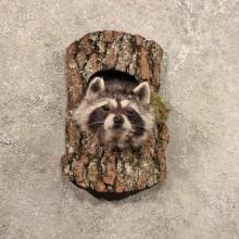 Single Raccoon Head in Log Taxidermy Mount For Sale