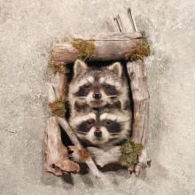 Double Raccoon Head in Log