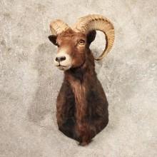 Black Mouflon Ram Shoulder Taxidermy Sheep Mount For Sale