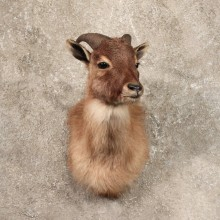 Juvenile Himalayan Tahr Taxidermy Shoulder Mount For Sale