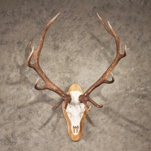 Red Deer Stag Antler Plaque #11344 - The Taxidermy Store