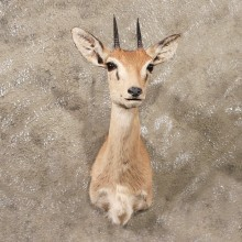 African Oribi Taxidermy Shoulder Mount For Sale