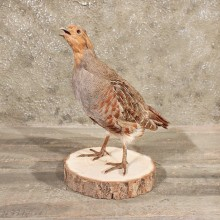 Hungarian Grey Partridge #11374 - The Taxidermy Store
