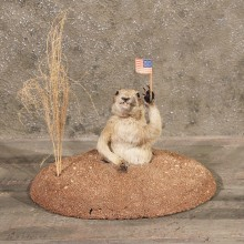 For Sale - Richardson's Ground Squirrel Gopher #11376 - The Taxidermy Store