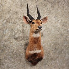 African Bushbuck Shoulder #11394 - For Sale - The Taxidermy Store