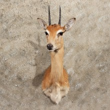 East African Oribi Taxidermy Shoulder Mount For Sale #11397 - For Sale - The Taxidermy Store