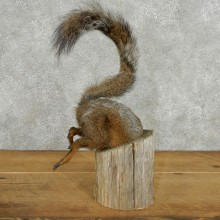 Novelty 'Curious' Grey Squirrel