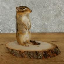 Standing Upright Chipmunk Mount
