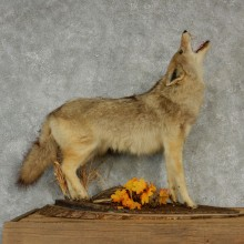 Standing Life-Size Coyote Mount