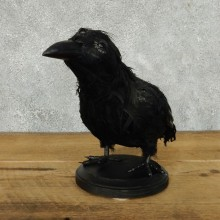 "Reproduction ""Three Eyed Crow"" Taxidermy Mount #13370 For Sale @ The Taxidermy Store"