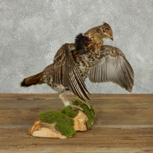 Standing Ruffed Grouse Taxidermy Mount