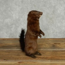 American Mink Life Size Mount