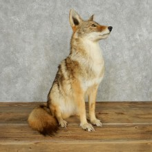 Standing Coyote Life Size Mount