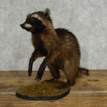 Standing Black Raccoon Life-Size Mount