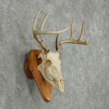 Whitetail Deer Skull & Antler European Mount #13768 For Sale @ The Taxidermy Store