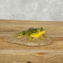 Bullfrog Replica Taxidermy Mount For Sale