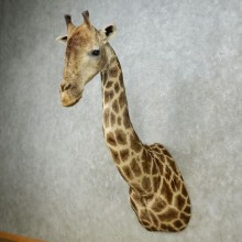 African Giraffe Shoulder Mount For Sale #15091 @ The Taxidermy Store