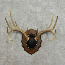 Whitetail Deer Antler Plaque For Sale #15993 @ The Taxidermy Store