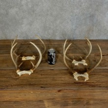Whitetail Deer Antler Shed For Sale #16133 @ The Taxidermy Store