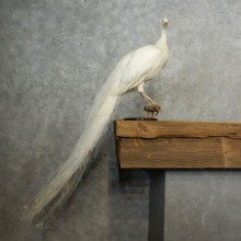 Indian White Peacock Taxidermy Bird Mount For Sale