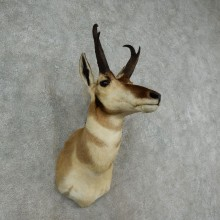 Pronghorn Antelope Shoulder Mount For Sale #16976 @ The Taxidermy Store