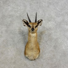 African Klipspringer Taxidermy Shoulder Mount For Sale