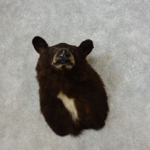 Black Bear Shoulder Mount For Sale #17271 @ The Taxidermy Store