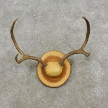 Mule Deer Taxidermy European Antler Plaque #17291 For Sale @ The Taxidermy Store