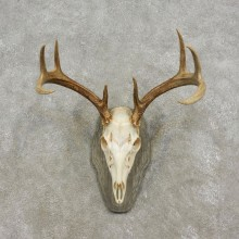 Whitetail Deer Skull European Mount For Sale #17298 @ The Taxidermy Store