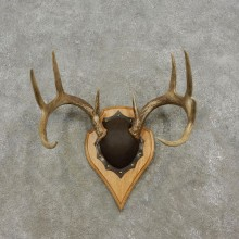 Whitetail Deer Antler Plaque Mount For Sale #17300 @ The Taxidermy Store