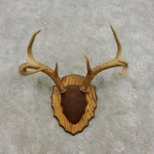 Whitetail Deer Antler Plaque Mount For Sale #17310 @ The Taxidermy Store