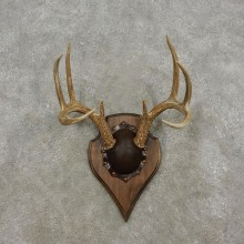 Whitetail Deer Antler Plaque Mount For Sale #17312 @ The Taxidermy Store