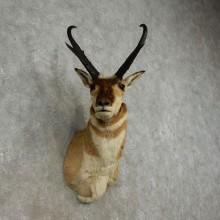 Pronghorn Antelope Taxidermy Shoulder Mount For Sale