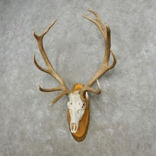 Red Deer Stag Skull European Mount For Sale