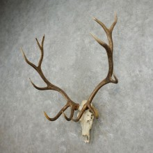 Rocky Mountain Elk Skull European Mount For Sale #17393 @ The Taxidermy Store