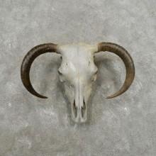 Bull Skull & Horns European Mount For Sale #17395 @ The Taxidermy Store