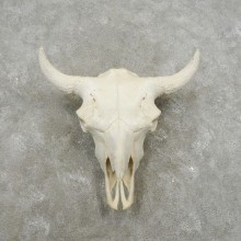 Buffalo Bison Skull Mount For Sale #17396 @ The Taxidermy Store